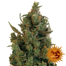 Barney´s Farm, Blueberry Cheese, feminized