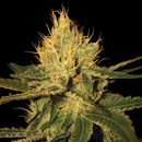 DNA Cannalope Haze, feminized