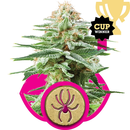 Royal Queen Seeds, White Widow, feminized