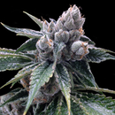 DNA Genetics GYO Collection, White Walker Kush, 6 pc...