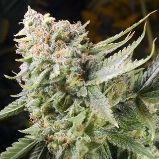 Elemental Seeds, Gummy Bear, feminized, 6 pc (Trueberry x Big Lemon)