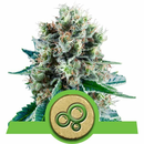 Royal QueenSeeds, Bubble Kush Automatic, feminized