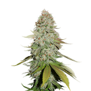 Seed Stockers, Sticky Monkey GG #4, 5 pc, feminized