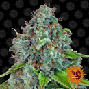 Barney´s Farm, Strawberry Lemonade, feminized