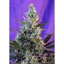 Sweet Seeds, Sweet Skunk, Fast Version, feminized